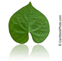 Heart-shaped leaves, green leaves on a separate white background