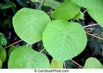 Heart shaped leaves. - The Heart shaped leaves in the...