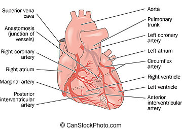 Heart showing coronary arteries - labeled
