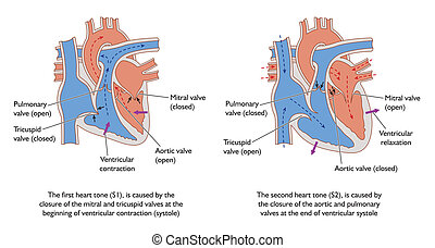 Production of S1 and S2 heart sounds -- labeled