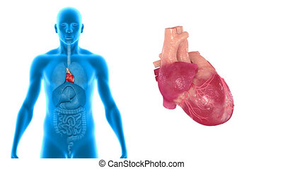 Heart. - The human heart is a vital organ that functions as...