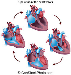 Heart valves operation - Heart cross section showing...
