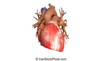 heart with blood action close up animation - heart with ...