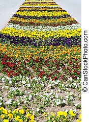 Heartsease, flower garden