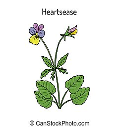 Heartsease Viola tricolor , ornamental and medicinal plant...