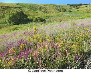 Heath grasslands, dry meadow, with many flowers. The sun is shining over the field.