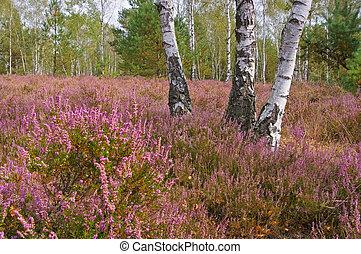 Heath landscape with flowering Heather, Calluna vulgaris