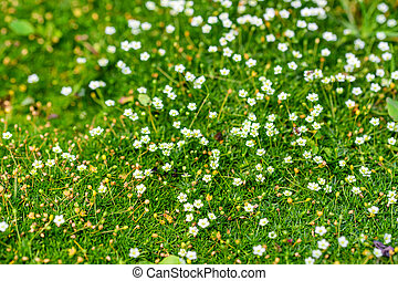 Heath pearlwort lawn or Sagina subulata - Close up small...
