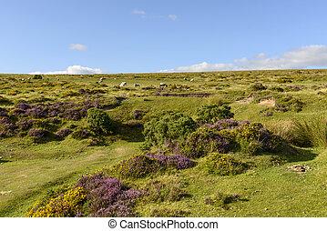 heather and sheep in the moor, Dartmoor