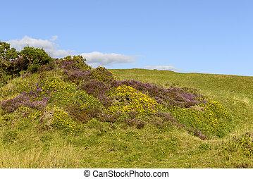 heather and yellow flowers in the moor, Dartmoor
