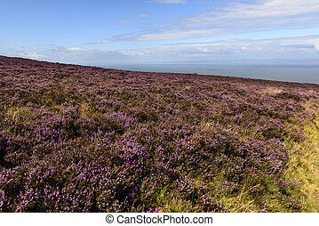 heather field  in moor and Bristol channel, Exmoor