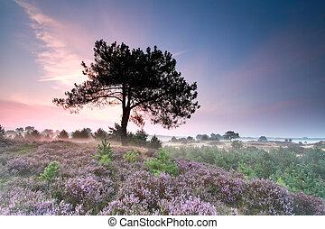 heather flowering at misty sunrise