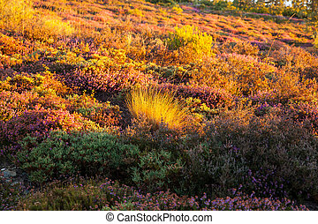 Heather flowers in the spanish countryside