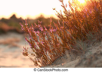 heather flowers on sand hill at sunset
