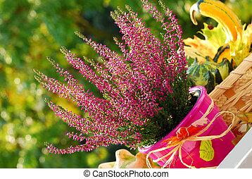 heather in autumn garden