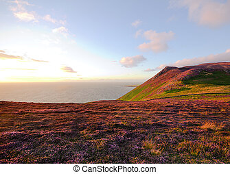 Heather in Bloom. Isle of Man Moorlands - Blooming Heather...