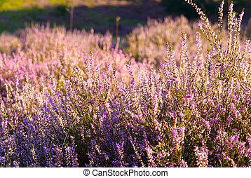 Heather in bloom - Pink Heater during the flowering period ...