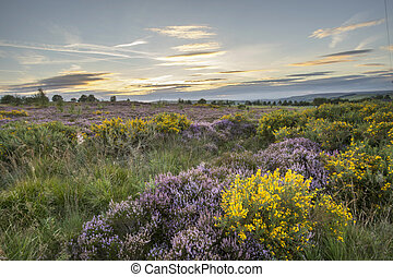 Heather in flower at sunset