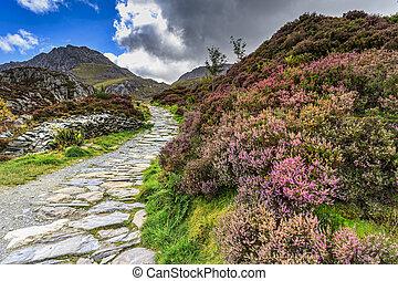 Snowdonia national park - Heather in flower in Snowdonia ...