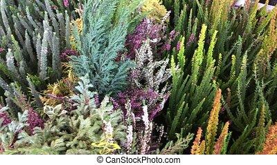 heather in garden center - heather flowers, pine trees,...