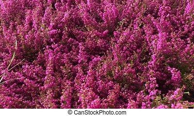 heather in garden center - heather fresh fall flowers...