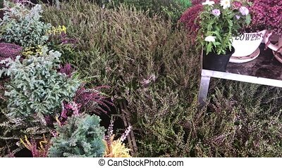 heather in garden center - Watering heather and other fresh...
