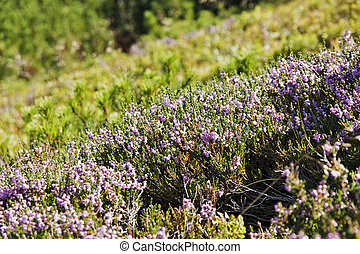 Heather on a mountain slope
