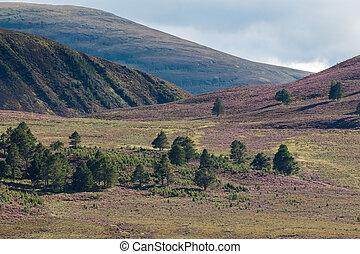 Heather on the Cairngorm Mountain Range