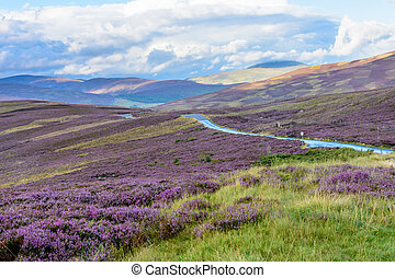 Heather on the gently rolling hills of Northern Scotland -...