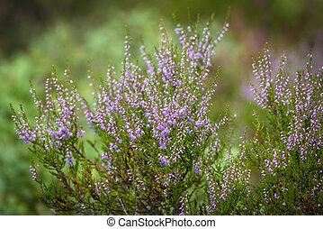 Heather plant in wild nature