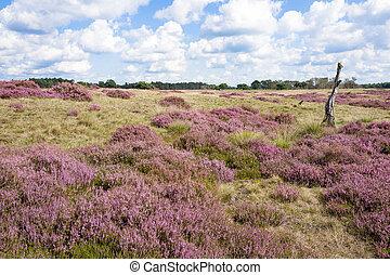 Heathland. - Heathland in the Nationaal Park Hoge Veluwe,...