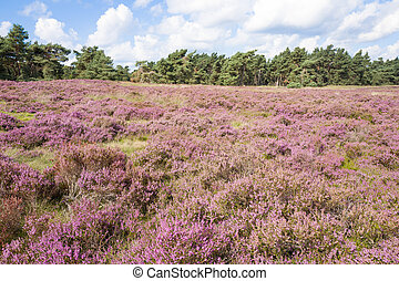 Heathland with pine trees in the Nationaal Park Hoge Veluwe, Netherlands.