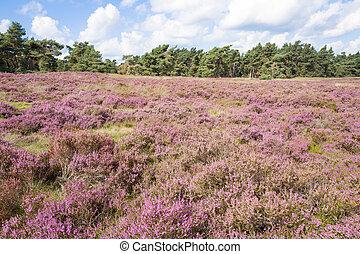 Heathland. - Heathland with pine trees in the Nationaal Park...