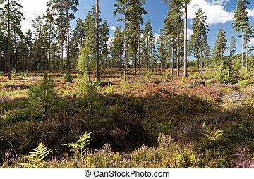 Heathland in Sweden