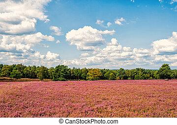Heathland with flowering common heather Calluna vulgaris and...