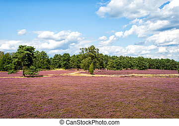 Heathland with flowering common heather (Calluna vulgaris) and an oak in the Lueneburg Heath (Lueneburger Heide) in Lower Saxony, Germany. HDR