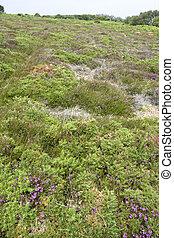 heathlands scenery - heathland at Cap Frehel in Brittany,...