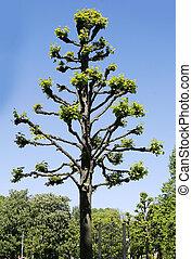 heavily pruned tree - Heavily pruned tree detail