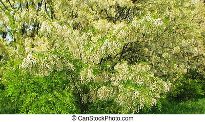 Heavy Branches With  Acacia Blossom Swaying On Breeze