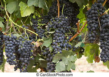 Heavy Bunches of Grapes