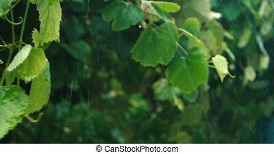 Heavy rain in orchard closeup 4k footage