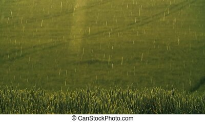 Heavy rain over the field. Young green wheat germ. Rain over...
