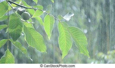 Heavy rain shower downpour cloudburst rainfall comes in the...