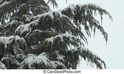 heavy snow and pine tree