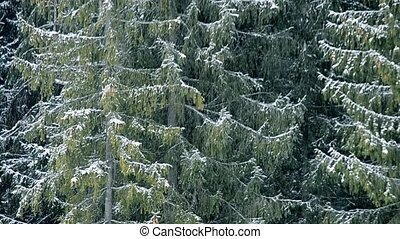 Heavy snow falls on background of big evergreen fir trees
