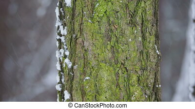 Heavy snowfall in forest. Focus on tree bark with green...