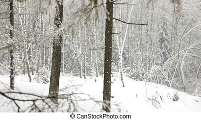 Heavy snowfall in the winter forest - Heavy snowfall in the...