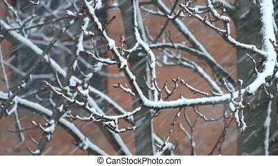 Heavy snowfall sweeps a branch of nuts tree