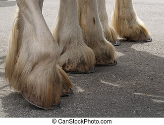 Heavyweight Hooves - The hooves of three Clydesdales. The...
