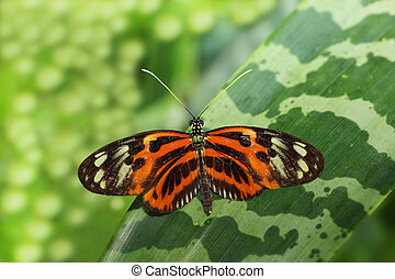 Hecale Longwing Butterfly on the green leaf